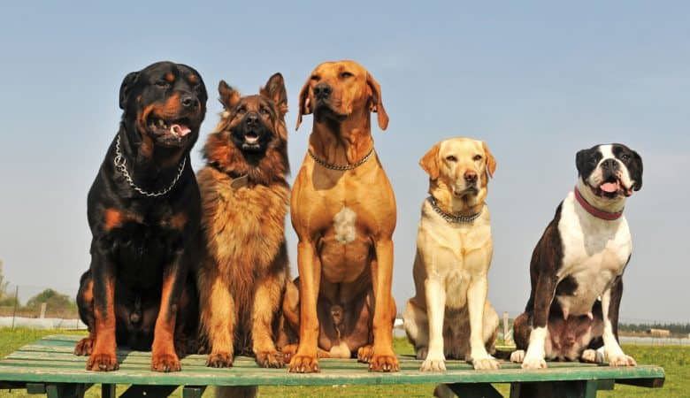 Five big dogs sitting on a wooden plank