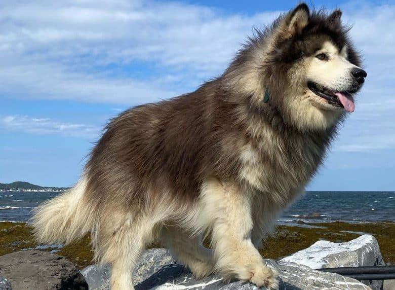 Fluffy Alaskan Malamute dog at the top of rock