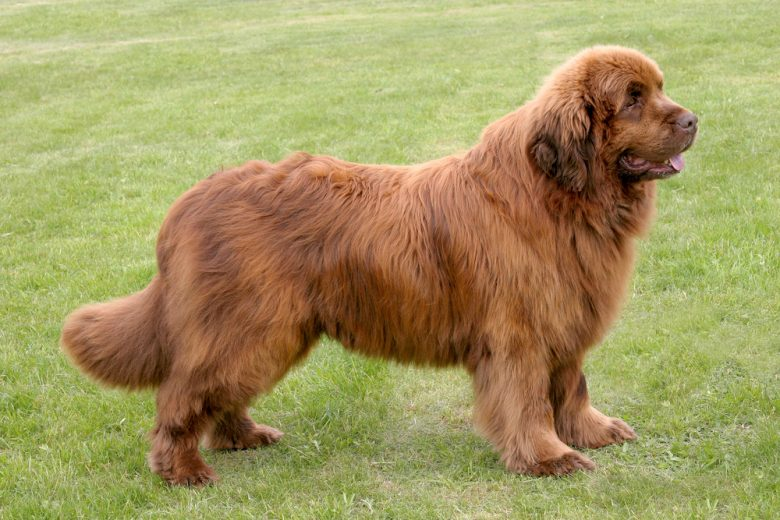 A brown big Newfie standing on the grass