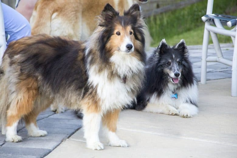 A tri color and black and white Mini Sheltie enjoying outdoors