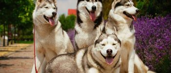 four goofy Siberian Huskies posing for a portrait with lavender behind