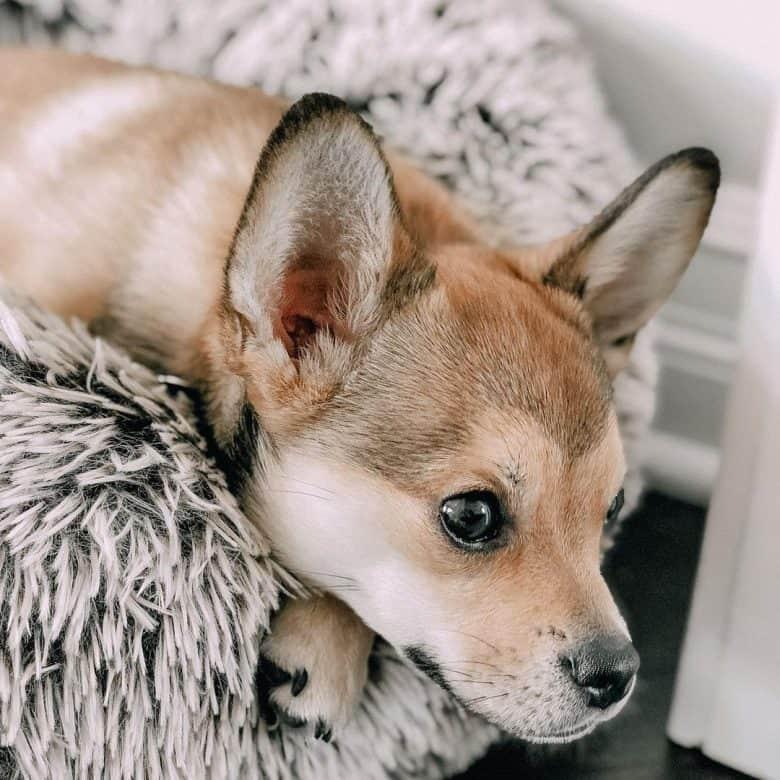 A French Pomerdog with fox-like ears