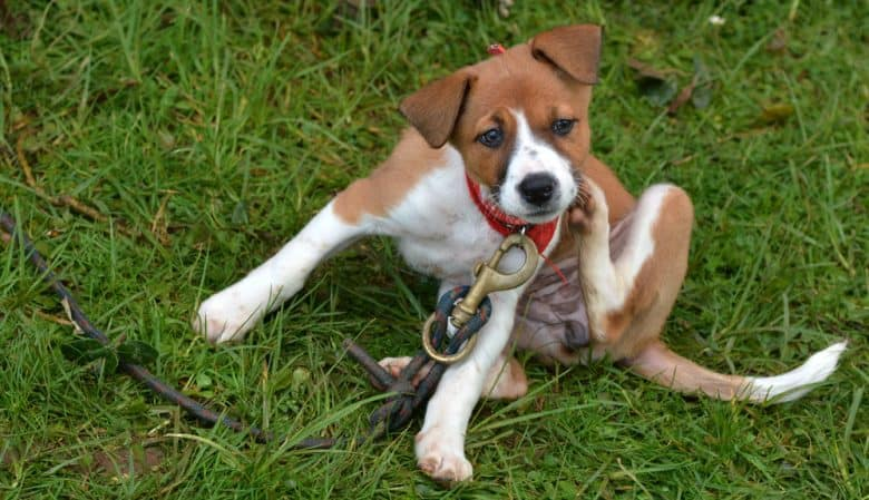 Foxhound dog sitting and scratching on the grass