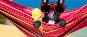French Bulldog on hammock eating an ice cream