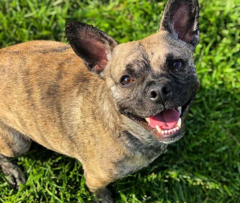 French Bulldog Poodle mix dog portrait