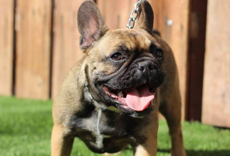 French Bulldog with a chain leash