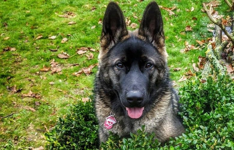 German Shepherd and Akita mix dog portrait