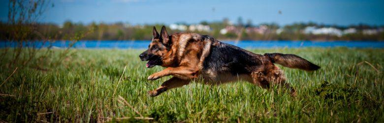 German Shepherd dog running on the grass