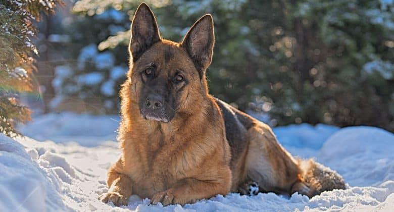 German Shepherd dog lying on the snow