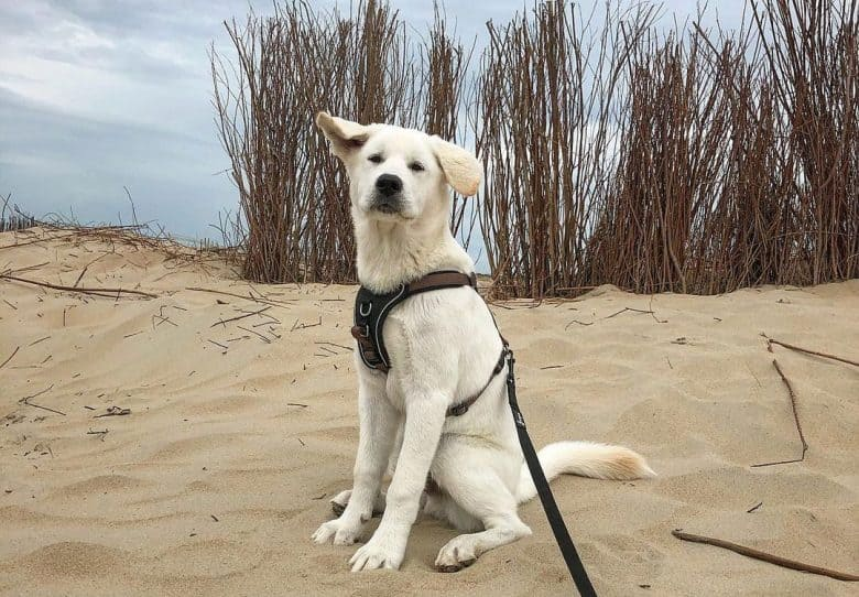 Golden Retriever and Akita mix dog sitting on the sand