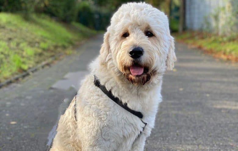 Golden Retriever Poodle mix dog portrait