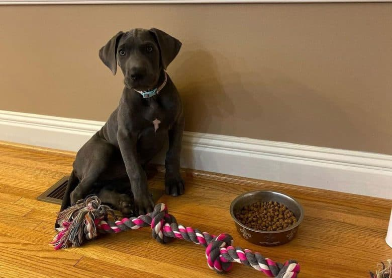 A Great Dane dog sitting beside his food and rope toy