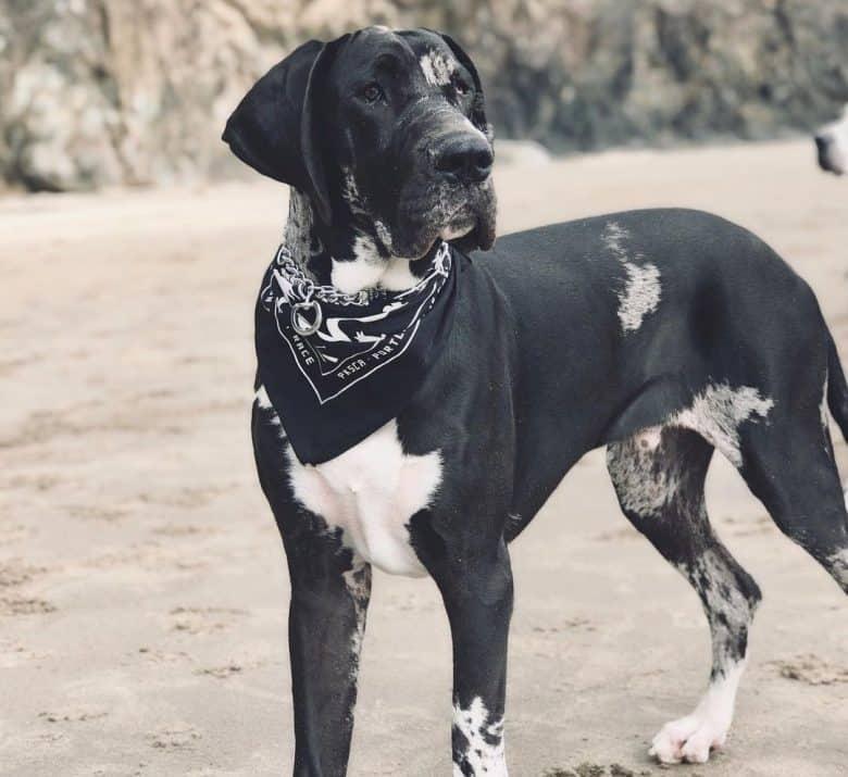 A Fawn Mantle Great Dane wearing a black bandana