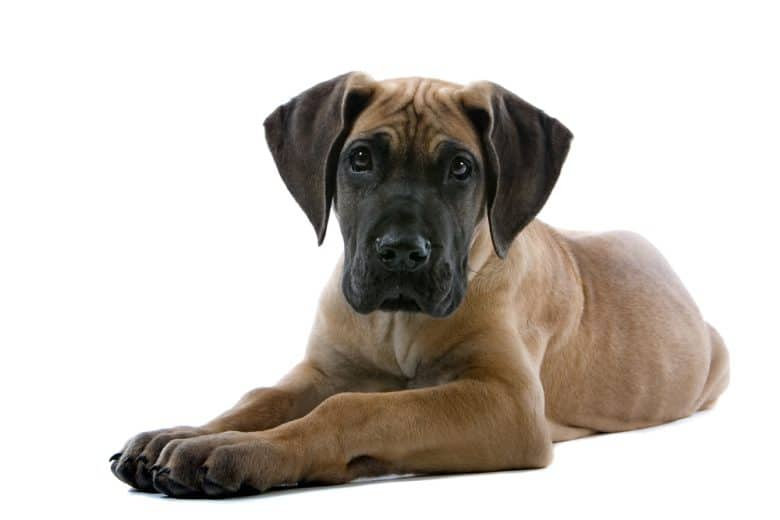 A Great Dane puppy laying down with white background
