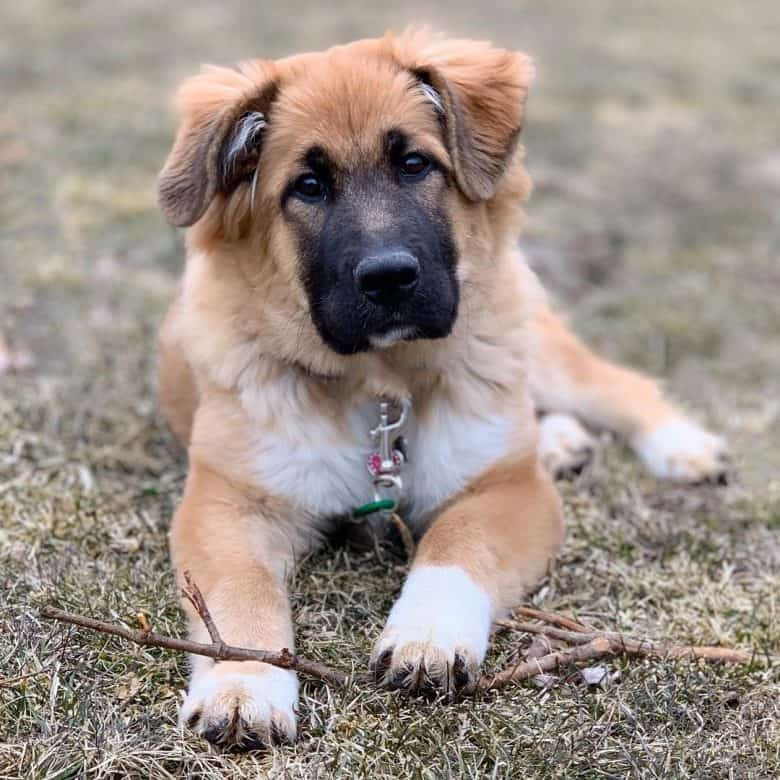 A Great Pyrenees GSD mix puppy on a backyard