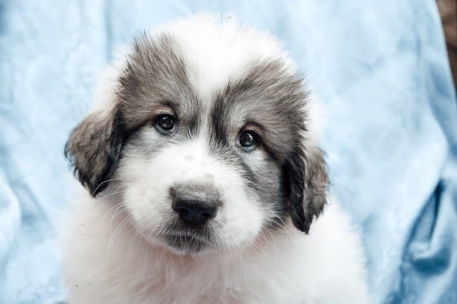 A cute Great Pyrenees puppy
