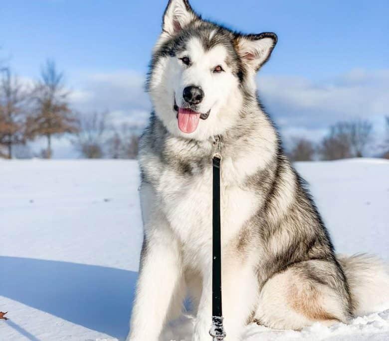 Grey and white Alaskan Malamute dog sitting on snow field