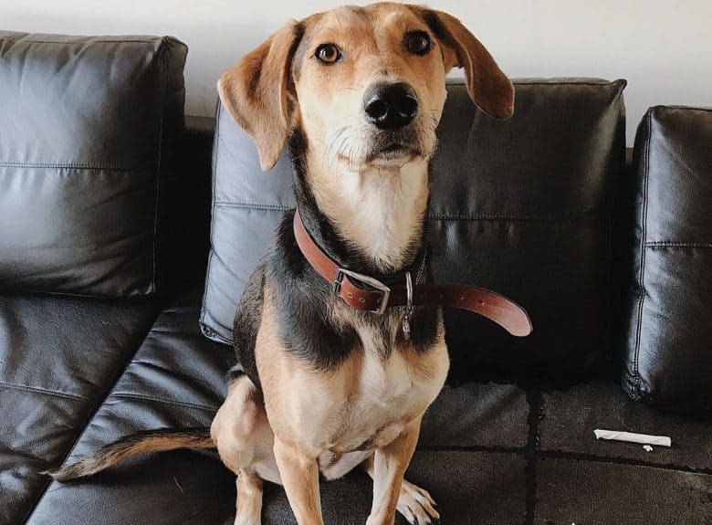 Greyhound German Shepherd mix dog sitting on a sofa