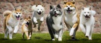 Group of Japanese dogs running on the grass