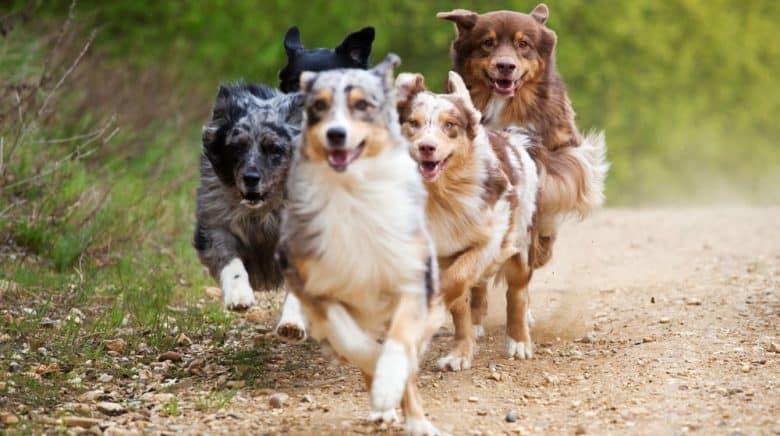 Group of running Australian Shepherd dogs