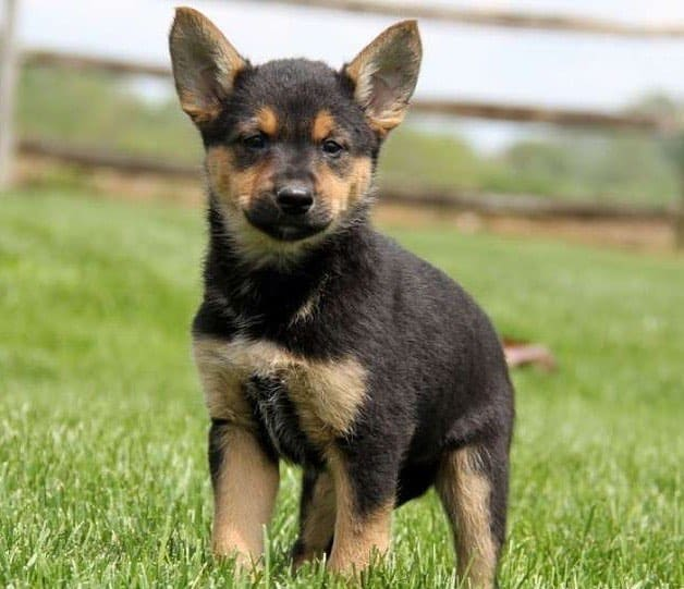 A cute GSD Chihuahua mix puppy on the grass
