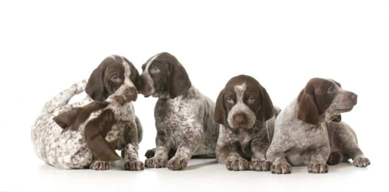 The GSP puppies on a white background