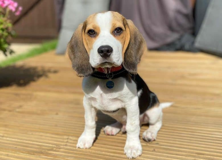 A charming Beagle puppy sitting on a card board