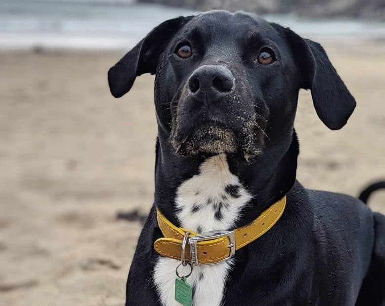 A Rottmatian looking up and laying on the sand wearing a yellow collar