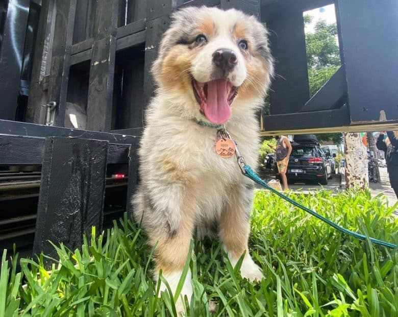 A happy Australian Shepherd puppy sitting on the grass