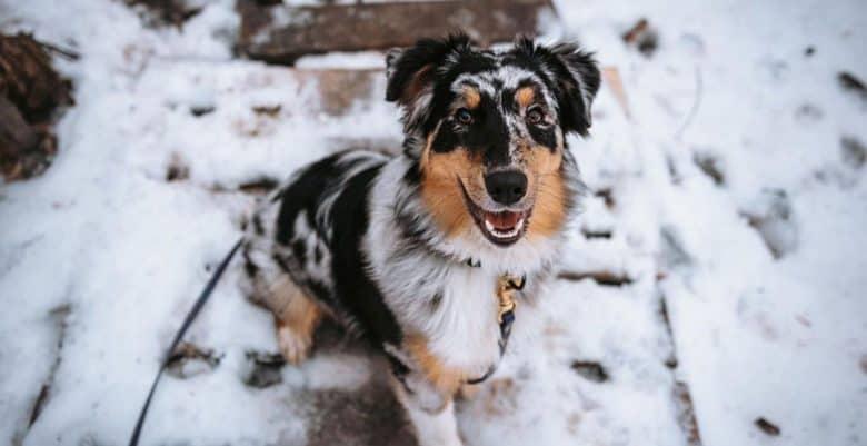 Happy Aussie dog sitting on the snow