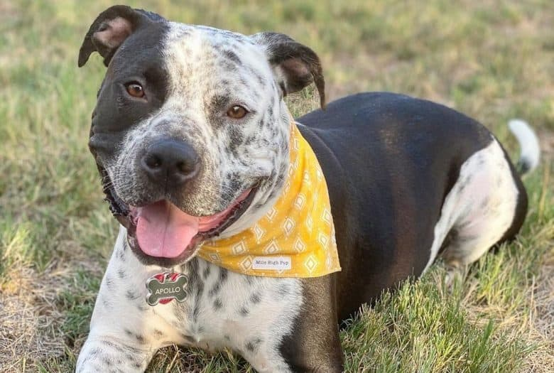 Bull Pit Terrier wearing a yellow scarf smiling