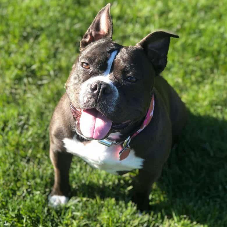 An adorable English Bulldog Pitbull mix sitting on grass