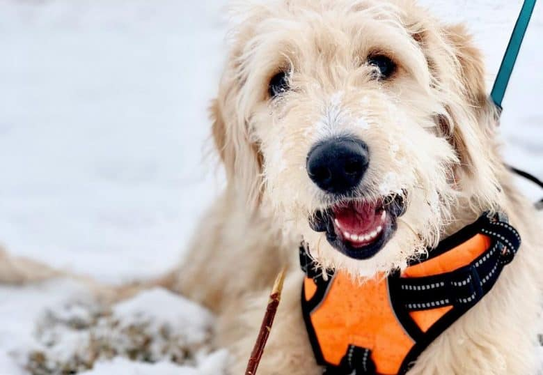 A Golden Poodle wearing an orange harness laying on the snow