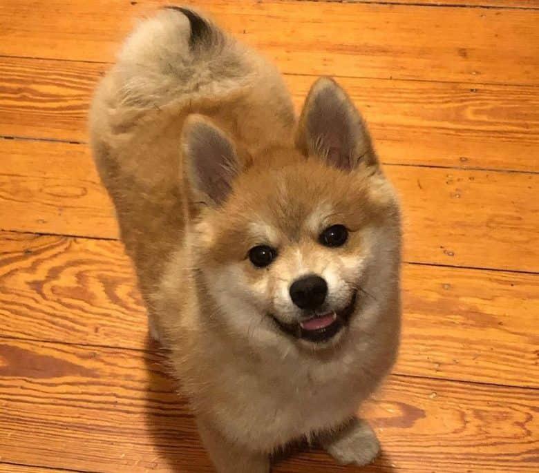 Happy Pomeranian and Akita mix dog portrait