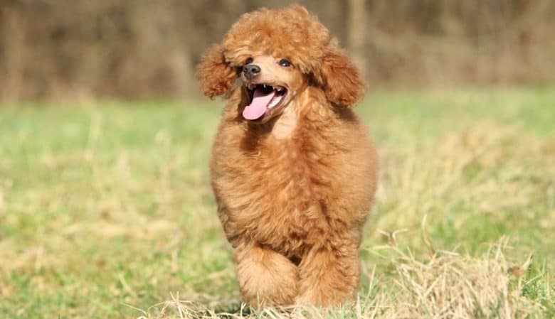 Happy Poodle dog walking on the field