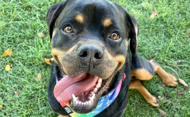 A happy and cute Rottie sitting on the grass with tongue out