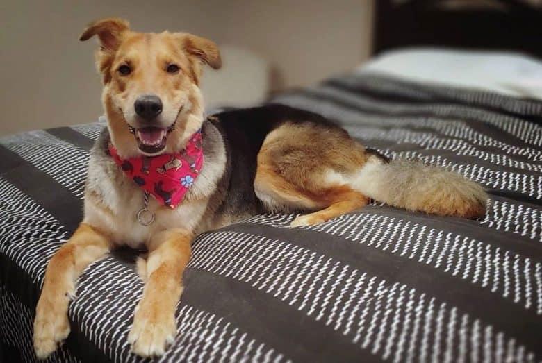 Happy Sheltie German Shepherd mix dog lying on the bed
