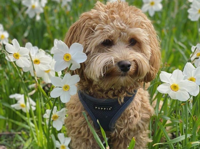 Havanese Poodle mix dog posing in the daffodil flowers