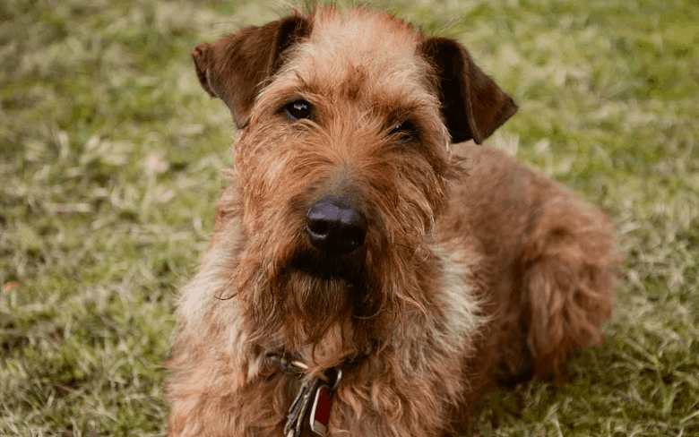 An Irish Terrier laying on the grass