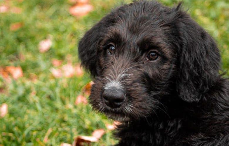 Irish Wolfhound Poodle mix dog portrait