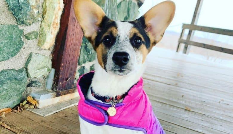 Jack Russell Terrier Australian Cattle Dog mix dog wearing a coat