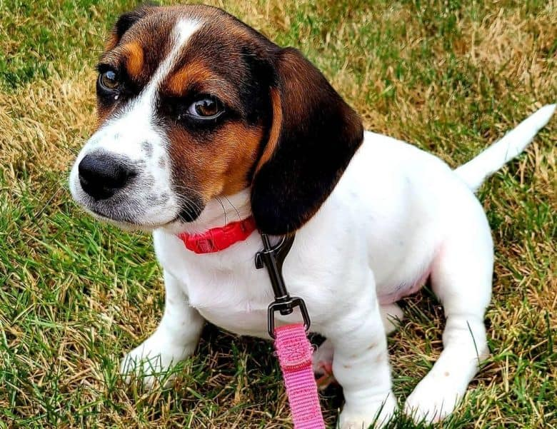 A Jack Russell Terrier Beagle mix puppy with a red collar
