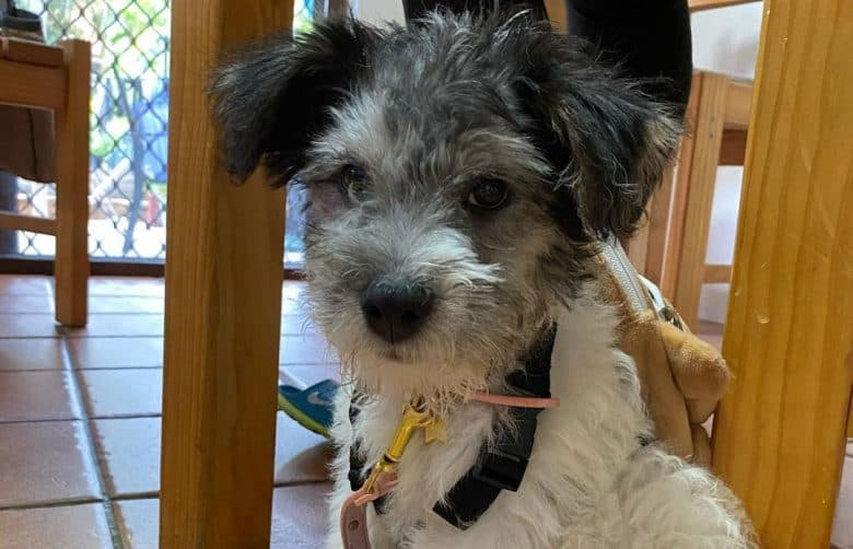 Jack Russell Terrier Bichon Frise mix dog sitting under the table