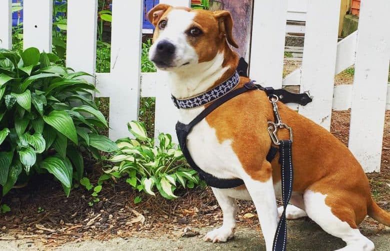 Jack Russell Terrier Bull Terrier mix dog sitting on a walkway