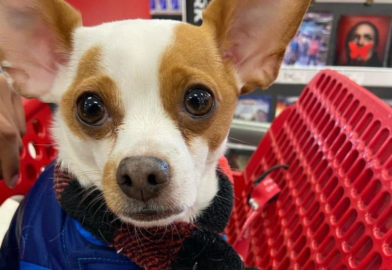 Jack Russell Terrier Chihuahua mix dog ready for a shopping