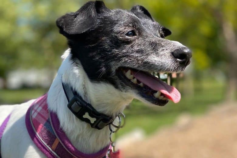 Jack Russell Terrier Dachshund mix dog portrait