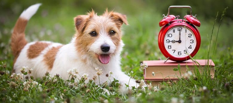 Jack Russell Terrier dog lying on the grass with the books and a clock