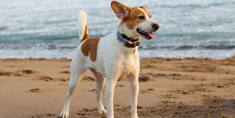 Jack Russell Terrier Labrador Retriever mix dog posing on the beach