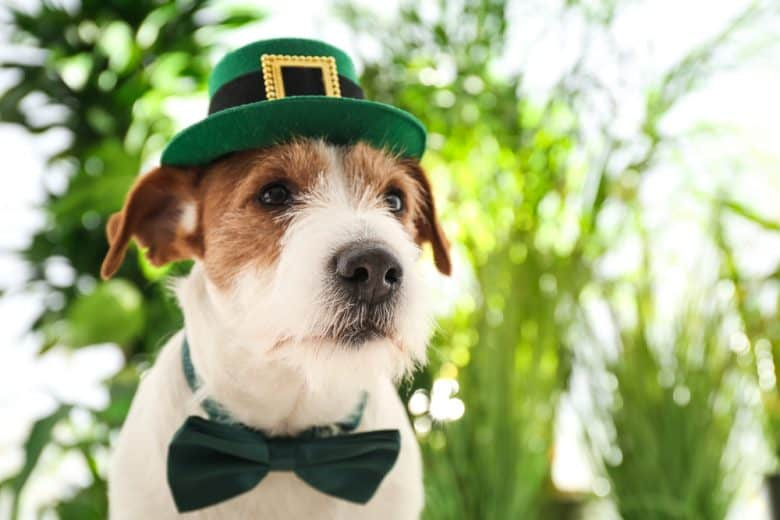 A Jack Russell Terrier wearing a green hat and bow