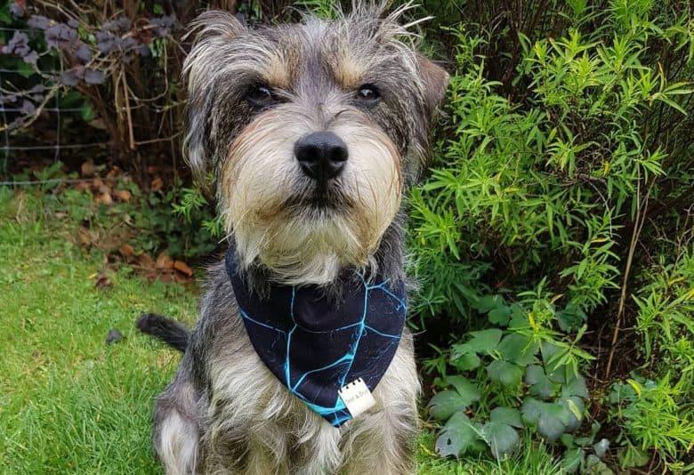 Jack Russell Terrier Miniature Schnauzer mix dog portrait